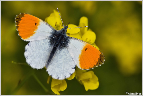 Oranjetipje - Orange tip - Anthocharis cardamines