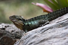 Eastern Water Dragon (petefeats) Tags: nature australia brisbane queensland lizards reptiles mtcootthabotanicgardens easternwarterdragon