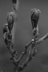 spring growth (postbear) Tags: trees blackandwhite plants plant toronto tree leaves leaf spring growth buds bud cabbagetown robfordasshole destroycraigslist cabbageville cabbageopolis robfordisanasshole robfordandstephenharperaredisgustingbigots robfordisalyingsackofshit allconservativesarefilth likeallbulliesrobfordisachickenshitcoward robfordisafraidofeverything robfordisastupidbitch atownmadeentirelyfromcabbages thenewmapfunctionisterrible robfordhasneonazisforfriends foundoutreadingisdifficult robfordisadisgustingfuckingthief thenewuploaderisalsoterrible helpourformermayorisastupidclown formermayorrobfordlikescottaging richwhiteconservativesbuyjusticeyetagain robfordsexuallyassaultswomen satansfingertips