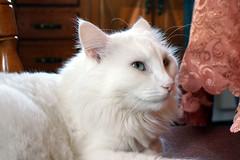 Chat (chicozen) Tags: pet cats cute animal cat kitten feline chat kitty catnipaddicts