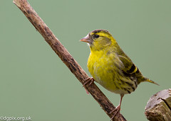 Male Siskin (Danny Gibson) Tags: bird nature birds wildlife birding finch finches birder avian birdphotography siskins sigma50500mm canon7d dgpixorguk