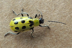 Spotted Cucumber Beetle (Anita363) Tags: fauna yard insect newjersey beetle nj highlandpark coleoptera chrysomelidae galerucinae diabroticaundecimpunctata diabrotica spottedcucumberbeetle polyphaga diabroticaundecimpunctatahowardi chrysomeloidea