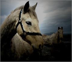 In the limelight.  View on black. (ronmcbride66) Tags: aerial burren ponies limelight comayo coth supershot awardtree dragondaggerphoto sunrays5 beautiesbeasts limsetonepavement