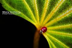 lady bug (mmgdoherty) Tags: green nature garden leaf spring ladybug greenleaf danielstowebotanicalgarden