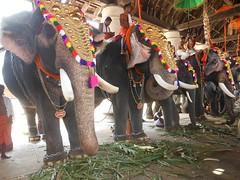 irinjalakuda koodalmanikyam utsavam 2013 (koodalmanikyam-utsavam) Tags: elephant utsavam irinjalakuda koodalmanikyam irinjalakudautsavam shiveli koodalmanikyamtemple koodalmanikyamutsavam2013 koodalmanikyamutsavamphotos