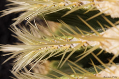 CACTACEAE- Echinocactus grusonii Inermuis (Zsuzsa Poór) Tags: cactus españa spain lanzarote cactaceae canonistas jardíndelcactus