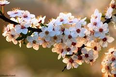 Kwiatki (beata.kisiel) Tags: flower tree nature spring natura kwiaty wiosna przyroda drzewo