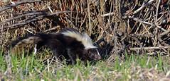 Striped Skunk - Moufette raye - Mephitis mephitis (DSC_5596-1F-20160503) (Michel Sansfacon) Tags: faune stripedskunk mephitismephitis parcsqubec parcnationaldeslesdeboucherville nikond7000 moufetteraye sigma150600mmf563dgoshsmsports