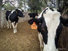 Vacas (AlexAguilarT) Tags: abejas flores arboles vacas gallinas