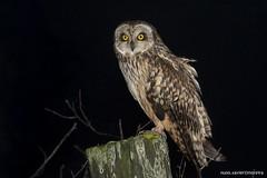 Coruja do Nabal, Short-eared Owl (Asio flammeus) (Nuno Xavier Moreira) Tags: ngc shortearedowl asioflammeus corujadonabal shortearedowlasioflammeusemliberdadewildlifenunoxavierlopesmoreira