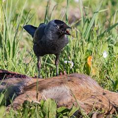 Catch (Mr F1) Tags: bird feeding carrion jackdaw johnfanning
