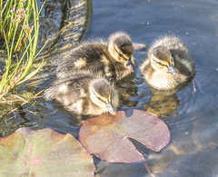Sweet. (Omygodtom) Tags: wild baby bird nature lines outdoors three pond woods nikon wildlife animalplanet tamron90mm d7100