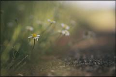 del camino que voy dejando (joaaglera) Tags: light flower luz nikon dof bokeh flor desenfoque nikkor d610 105mmf2ddc