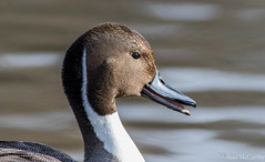 Northern Pintail Calling (Melissa M McCarthy) Tags: portrait bird nature animal closeup newfoundland duck call outdoor stjohns calling whistle whistling pintail northernpintail canon400mm
