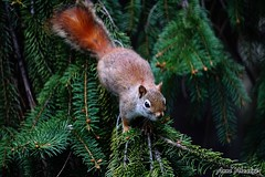 Red Squirrel in Spruce Tree (--Anne--) Tags: trees red tree cute nature animals squirrel squirrels wildlife