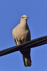_MRC3288 (Obsies) Tags: birds pigeon paloma d4s sigma300800 sigmonster