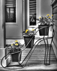 ODC - There's No Accounting for Taste (lclower19) Tags: bw dog white black window shoe schnauzer porch taste planter hdr selectivecolor odc sidelight
