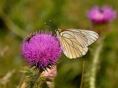 Aporia crataegi (Tim Worfolk) Tags: butterfly blackveinedwhite pyrénéesorientales aporiacrataegi
