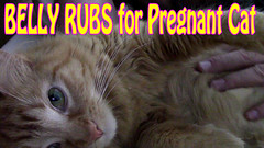 Pregnant Athena Loves Belly Rubs (youtube.com/utahactor) Tags: red orange yellow female cat canon hair mackerel ginger video chat long tabby watch pregnancy like kitty kittens pregnant follow whiskers belly purr gata meow hd athena rare share subscribe kittycat ilovecats youtube rubs friendsofzeusandphoebe