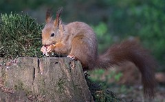 DSC08151rawcon_a (ger hadem) Tags: veluwe zwijn eekhoorn gerhadem