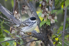 Blackpoll Warbler (m) (Peter Stahl Photography) Tags: alberta migration warbler blackpollwarbler blackpoll islelake