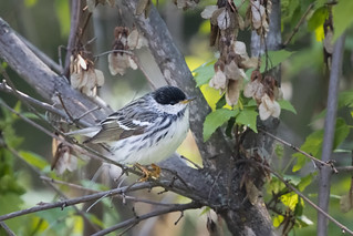 Blackpoll Warbler (m)