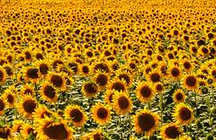 Yellow sunflower field... [Sintra, Portugal - 2012] (Jose Constantino Gallery) Tags: plant flower texture portugal field yellow landscape pattern lisboa sintra sunflower honeycomb cascais girassol terrugem patthern