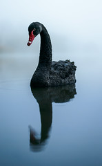 Swan Eye (ajecaldwell11) Tags: light newzealand sky mist reflection bird water dawn mirror swan ankh blackswan hawkesbay caldwell laketutira