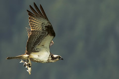 its windy, its not the best light, but you sit and wait for the osprey call, so distinctive (island deborah- nature website deborahfreeman.ca- ) Tags: light red port fishing ngc renfrew osprey