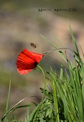 Buscant la flor (Marcel Marsal) Tags: primavera spring flor natura vermell mura flors vegetaci occidental silenci 2016 valls abella tranquilitat verds buscant moians