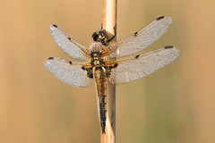 Four-spotted chaser m (Steve Balcombe) Tags: uk male dragonfly somerset levels chaser libellula odonata rspb anisoptera fourspotted quadrimaculata hamwall avalonmarshes