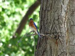 Western Bluebird (KrisNM) Tags: westernbluebird