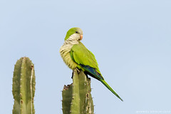 Cotorra Argentina. Myiopsitta monachus. Monk Parakeet (Daniel Sziklai G.) Tags: argentina cotorra iber lugares natphoto myiopsitta monachus monk parakeet aves birds