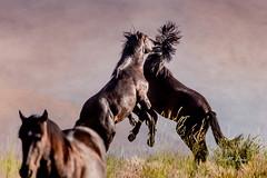 Great Basin Desert (Just Used Pixels) Tags: horses fight battle wildhorses