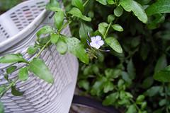 SDIM9986 (uekich) Tags: plants flower green sigma shade  clearly foveon   0609 sd15 1750mm    20160609