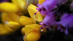 el brezo que llor a la escoba (mfernanl) Tags: escoba scoparius brezo ericacinerea