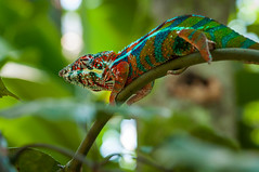 Look at my colours (kevinschr) Tags: colour nature animal rainforest chameleon