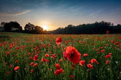 Poppies - coquelicots (holding_justin) Tags: champ paysage plante fleur extrieur ciel jardin calme soelil couchant coquelicots poppies field sunset picardie picardy france europe eos 80d tokina 1116 uwa uga cokin formatthitech nd8 soissons mercin et vaux herbe arbres grass trees sky contrast