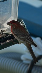 Purple Finch (King Kong 911) Tags: purplefinch nikon d5000 birds mocking finch nuthatcher cardinal