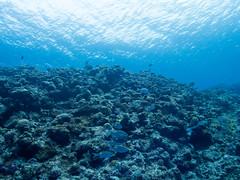 201601 kuroshima(yaeyama) (c_msmt) Tags: scuba diving