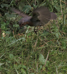 celui qui en voulait encore plus dans le bec (doubichlou) Tags: rouge gorge oiseau bird animal nature yonne bourgogne burgundy france