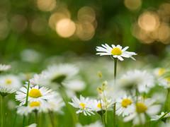 Flower Field (Mahmoud Abuabdou) Tags: flowers summer flower green nature beautiful yellow spring interesting aperture soft bokeh wide perspective olympus depthoffield 28 omd em1