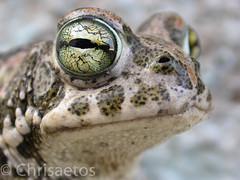 DSCN5685 (Chrisaetos) Tags: espaa 2004 fauna andaluca lugares meses octubre sapos ao almera aguamarga parquenaturalcabodegata reptilesyanfibios
