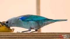 Azulejo /Bluejay (Harold Castro) Tags: azulejo bluejay bird ave pajaro birdwatch avesdevenezuela birdwatching