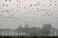 Barnacle Geese in flight (Foto Martien (thanks for over 2.000.000 views)) Tags: autumn mist holland bird fall netherlands dutch fog nationalpark nevel herfst nederland goose gans groningen oiseau friesland barnaclegoose brantaleucopsis vogel niederlande lauwersmeer frysln najaar nationaalpark brandgans birdmigration vogeltrek bernachenonnette nonnengans hvitkinngs berniklabiaolica vitkindadgs a550 bramgs barnaclacariblanca gansodefacesbrancas weiswangengans lauwersmar martienuiterweerd martienarnhem  sony70300gssmlens sonyalpha550 mygearandme mygearandmepremium mygearandmebronze mygearandmesilver mygearandmegold mygearandmeplatinum ringexcellence fotomartien grinsln