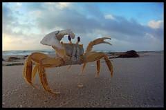 Angry Crab (onrivertime) Tags: ocean beach water clouds sunrise sand surf florida attack crab capture stillframe saintgeorgeisland ghostcrab gopro