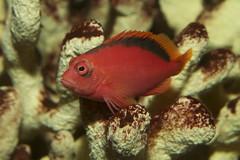 fish flame hawkfish armatus neocirrhites nationalaquariumindc taxonomy:binomial=neocirrhitesarmatus