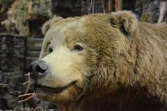 Bass Pro Shop - Springfield, Missouri (Adventurer Dustin Holmes) Tags: bear bears taxidermy grizzly basspro brownbear grizzlybear bassproshops bassproshop bassproshopsoutdoorworld