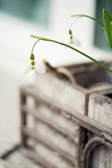Snowdrops, or the first blossom of the year (*Les Hirondelles* Photography) Tags: wood old italy white macro verde green grass leaves foglie canon vintage garden outside countryside wooden leaf petals italian iron soft italia dof heart bell bokeh gardening country softness naturallight poetic hobby campagna erba bloom hanging flowering foglia delicate pure campanula fragile petali windowsill cuore vaso pureness snowdrop giardino italiano blooming whiteflowers latewinter winterflower galanthusnivalis 100mm28 candour fragility fioribianchi bucaneve davanzale pendenti fiorire sbocciare firstblossom chabbychic candore macrodetails ancientiron fioredinverno leshirondellesphotography vasoinlegno