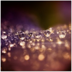 Bokeh Bubbles (Samantha Nicol Art Photography) Tags: pink plant nature water square droplets nikon dof purple bokeh droplet samantha nicol
